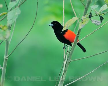 Male Passerini's Tanager, Rancho Naturalista, Costa Rica.