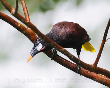 Montezuma Oropendola, Rancho Naturalista, Costa Rica.
