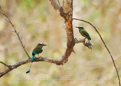 A pair of Turquoise-browned Motmots, Costa Rica.