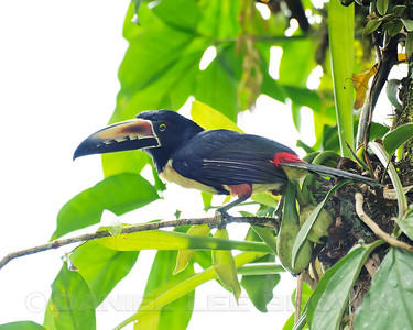 Collared Aracari, Selva Verde, Costa Rica.