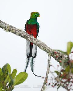 Male Resplendent Quetzal, near the Savegre Mountain Hotel, Costa Rica.
