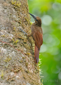 Barred Woodcreeper, Selva Verde, Costa Rica.