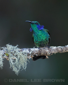 Male Green Violet-ear