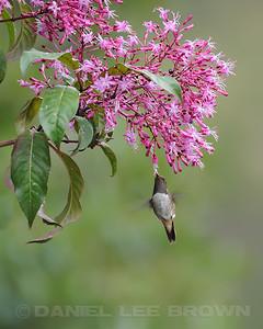 Volcano Hummingbird. Near Savegre Mountain Hotel, Costa Rica.