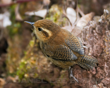Ocraceous Wren, near the Savegre Mountain Hotel, Costa Rica.