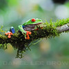 Red-eyed Treefrog, Selva Verde , Costa Rica.