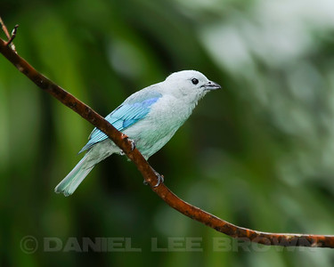 Blue-gray Tanager, Rancho Naturalista, Costa Rica.