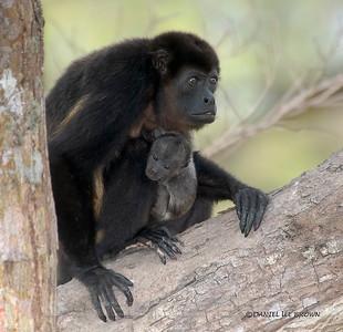 Howler Monkeys, Costa Rica.