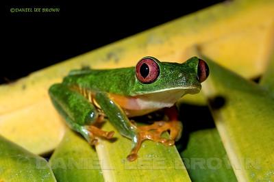 Parachuting Leaf Frog, Agalychnis saltator. Selva Verde, Costa Rica.