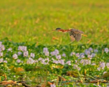 Green Heron, Rancho Solimar, Costa Rica.