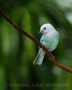 Blue-gray Tanager, Rancho Naturalista, Costa Rica.