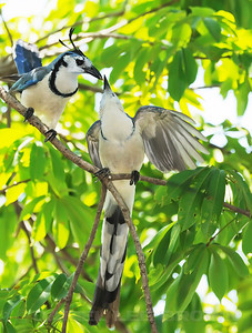 White-throated Magpie-Jays, Costa Rica.