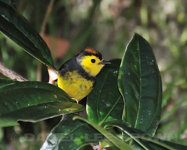 Collared Redstart, Near Savegre Mountain Hotel, Costa Rica.