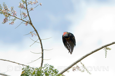Fiery-billed Aracari in flight,  photographed near San Isidro del General, Costa Rica.