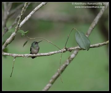 Mangrove Hummingbird,  Arenal, La Fortuna, Costa Rica, November 2014