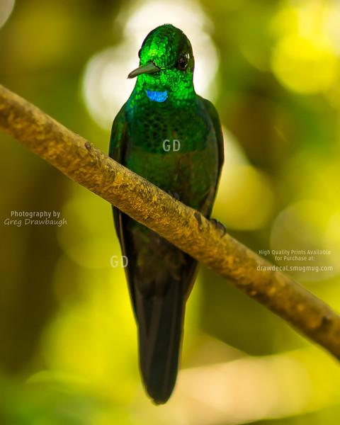 Fork-Tailed Emerald Hummingbird