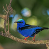 Red-legged Honeycreeper - Tarcoles