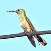 Ruby-throated Hummingbird - Female - Jaco