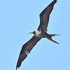 Magnificent Frigatebird - Female - Jaco
