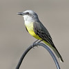 Tropical Kingbird - Jaco