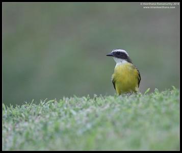 Social Flycatcher,  Arenal, La Fortuna, Costa Rica, November 2014