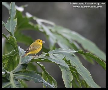 Yellow Warbler,  Arenal, La Fortuna, Costa Rica, November 2014