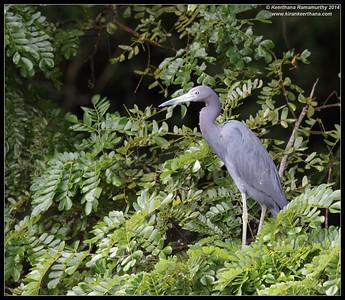 Little Blue Heron,  Cano Negro Wildlife Refuge, Costa Rica, November 2014