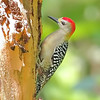 Red-crowned x Hoffman's Woodpecker - Hotel Villa Lapas