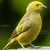 Olive Tanager