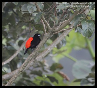 Passerini's Tanager,  Arenal, La Fortuna, Costa Rica, November 2014