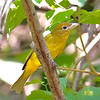 Summer Tanager - Female - Tarcoles