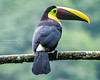 Black-mandibled Toucan