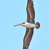 Brown Pelican - Jaco
