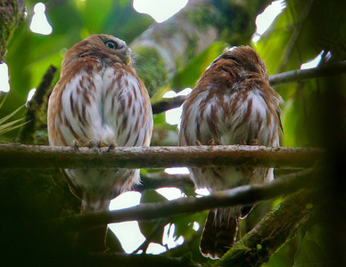 Ferruginous Pygmy Owls Pair