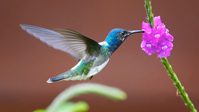 White-necked Jacobin Hummingbird in flight