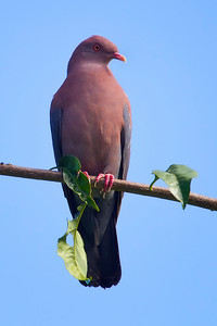 Short-billed Dove