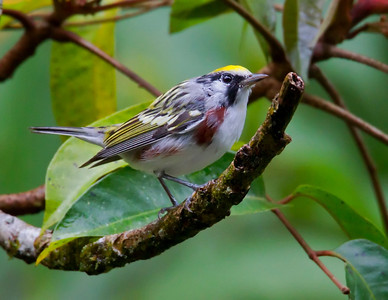 Chestnut-sided Warbler, male in breeding plummage