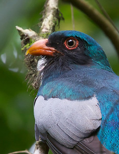Slaty-tailed Trogon portrait