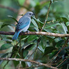 Blue-gray Tanager (Thraupis episcopus)<br /> December 12, 2008