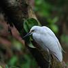 Snowy Egret (Egretta thula)<br /> Tortuguero, C.R.<br /> December 23, 2008