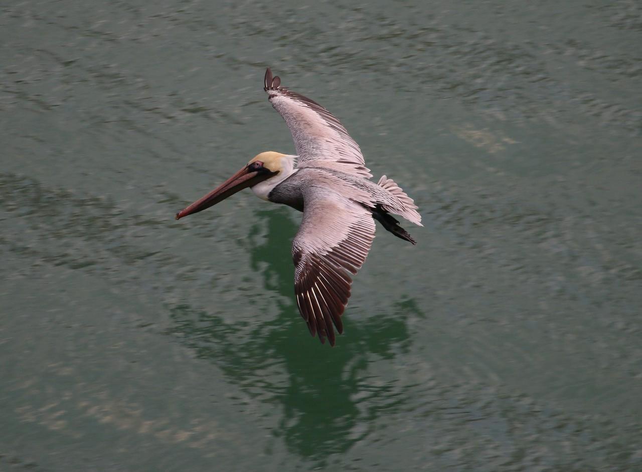 Western Brown Pelican
