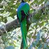 Resplendent Quetzal adult male (Pharomachrus mocinno)<br /> near Trogon Lodge, C.R.<br /> December 19, 2008