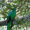Resplendent Quetzal adult male (Pharomachrus mocinno)<br /> near Trogon Lodge, C.R. <br /> December 19, 2008