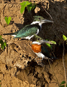 Pair of Green Kingfishers