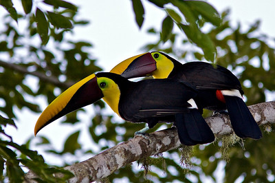 Pair of Chestnut-mandible Toucans