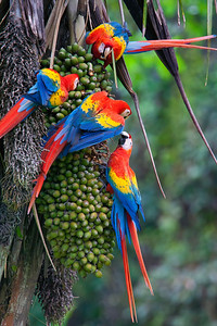 Four Macaws