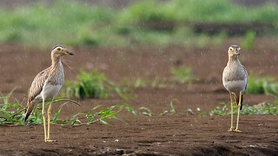 Double-striped Thick Knee