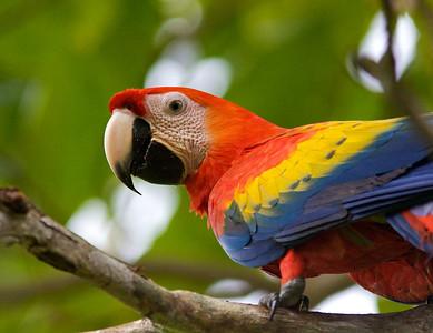 Scarlet Macaw upclose