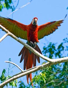 Scarlet Macaw landing