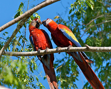 Macaws--Just a little smooch Honey-Pie?